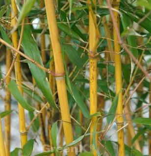 Goldener Peking Bambus 100-125cm - Phyllostachys aureocaulis - Vorschau