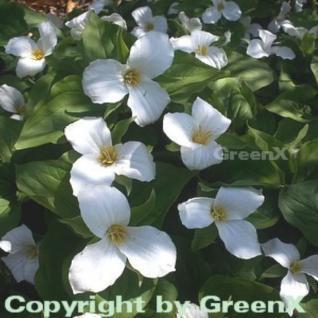 Großblütige Waldlilie - Trillium grandiflorum - Vorschau