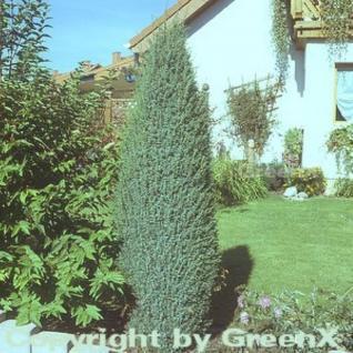 Irischer Säulenwacholder 60-80cm - Juniperus communis - Vorschau