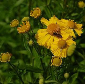 Sonnenbraut Helena - Helenium cultorum - Vorschau
