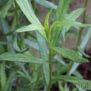 Deutscher Estragon French Terregon - Artemisia dracunculus - Vorschau