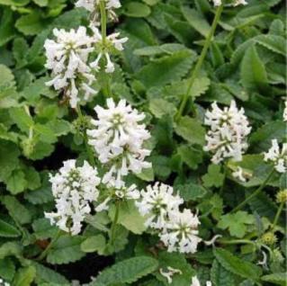 Weißer Ziest - Stachys officinalis Alba - Vorschau