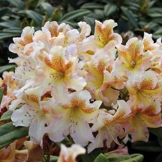 Großblumige Rhododendron Bernstein 30-40cm - Alpenrose - Vorschau