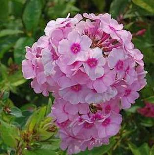 Hohe Flammenblume Rosenball - Phlox paniculata - Vorschau