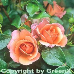 Floribundarose Aprikola® 30-60cm - Vorschau