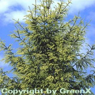 Orientalische Goldfichte 30-40cm - Picea orientalis Aurea - Vorschau