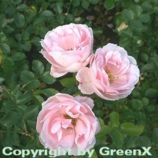 Floribundarose Ballade® 30-60cm - Vorschau