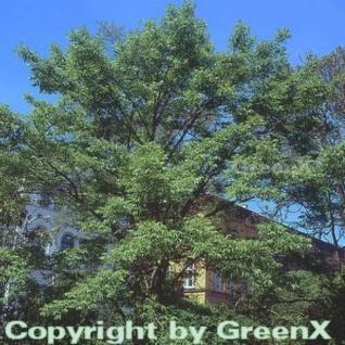 Amur Korkbaum 80-100cm - Phellodendron amurense - Vorschau