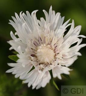 Kornblumenaster Alba - Stokesia laevis - Vorschau