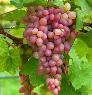 Weinrebe Piroschka® - Vitis - Vorschau