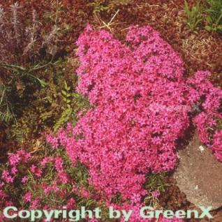 Teppich Phlox Scarlet Flame - Phlox subulata - Vorschau