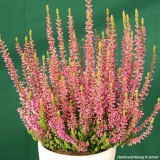 10x Knospenheide Gardengirls Rosita - Calluna vulgaris - Vorschau
