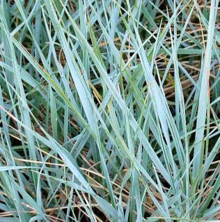 Magellan Blaugras - Agropyron magellanicum - Vorschau