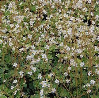 Keilblatt Steinbrech - Saxifraga cuneifolia - Vorschau