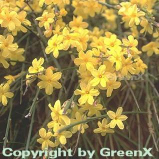 echter Winter Jasmin 100-125cm - Jasminum nudiflorum - Vorschau