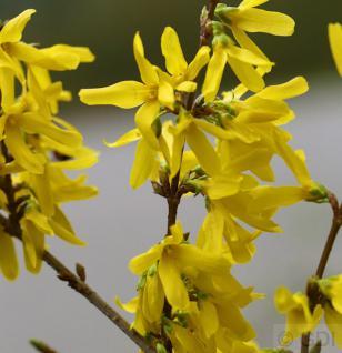 Goldglöckchen Spectabilis® 60-80cm - Forsythia intermedia - Vorschau