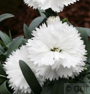 Federnelke Maischnee - Dianthus plumarius - Vorschau