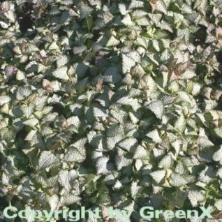Waldnessel Beacon Silver - Lamium maculatum - Vorschau