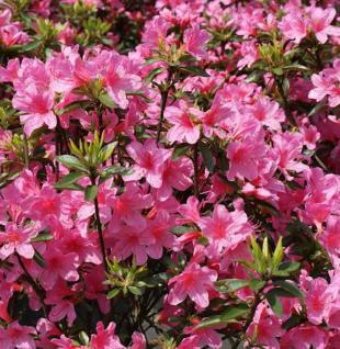 Japanische Azalee Madame Albert v. Hecke 30-40cm - Rhododendron obtusum - Zwerg Alpenrose - Vorschau
