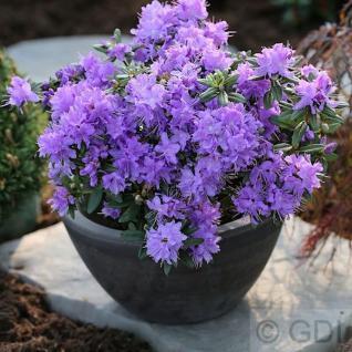Zwerg Rhododendron Luisella 30-40cm - Rhododendron impeditum - Zwerg Alpenrose - Vorschau