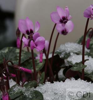 Herbst Alpenveilchen Rosenteppich - Cyclamen hederifolium - Vorschau