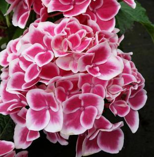 Bauernhortensie Camilia® 30-40cm - Hydrangea macrophylla - Vorschau