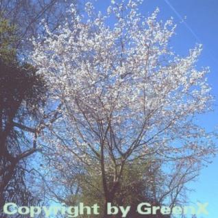 Schneekirsche Winterkirsche 100-125cm - Prunus subhirtella - Vorschau