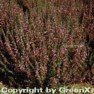 Immergrüner Gamander - Teucrium lucidrys - Vorschau
