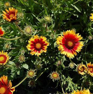 Korkadenblume Bremen - Gaillardia aristata - Vorschau