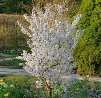 Schlanke Blütenkirsche Spire 80-100cm - Prunus hillieri - Vorschau