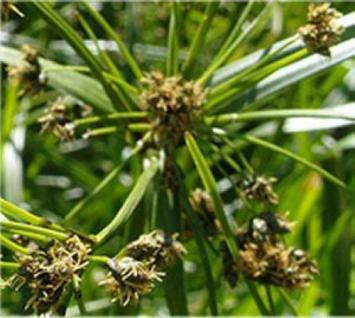 Gewöhnliche Teichsimse - Scirpus lacustris - Vorschau