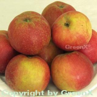 Apfelbaum Roter Boskoop 60-80cm - Winterapfel süßsauer - Vorschau