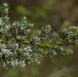 Teppichwacholder Holger 10-15cm - Juniperus squamata - Vorschau