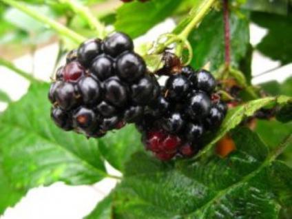 Brombeere Navaho - Rubus fruticosus - Vorschau