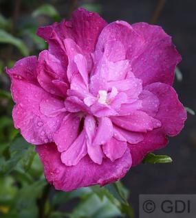 Hochstamm Garteneibisch Purple Ruffles 60-80cm - Hibiscus - Vorschau