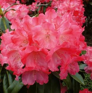 Rhododendron Morgenrot 30-40cm - Alpenrose - Vorschau