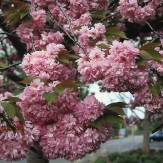 Hochstamm Japanische Nelkenkirsche Kanzan 80-100cm - Prunus serrulata - Vorschau