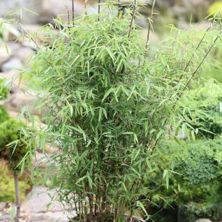 Schirmbambus 100-125cm - Fargesia murielae - Vorschau