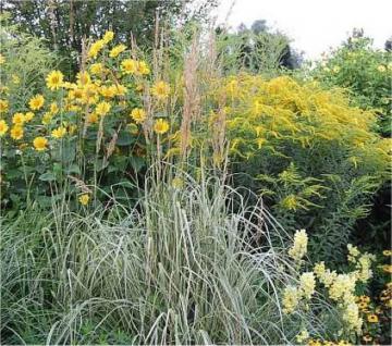 Reitgras Overdam - großer Topf - Calamagrostis acutiflora - Vorschau