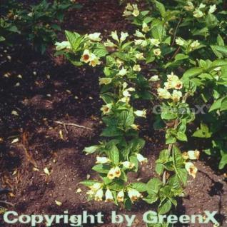 Gelbblütige Weigelie 60-80cm - Weigela middendorffiana - Vorschau