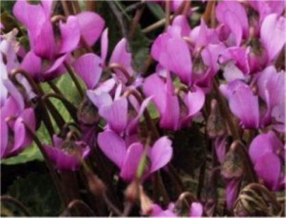 Europäisches Alpenveilchen - Cyclamen purpurascens - Vorschau