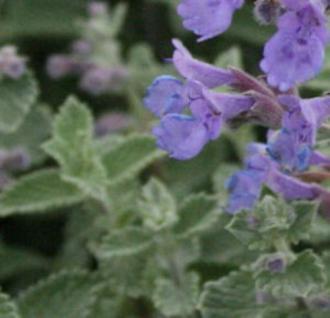 Himalaya Katzenminze Blue Dreams - Nepeta subsessilis - Vorschau