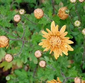 Winteraster Kleiner Bernstein - Chrysanthemum hortorum - Vorschau