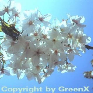 Japanische Maienkirsche 100-125cm - Prunus yedoensis - Vorschau