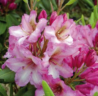 Großblumige Rhododendron Duke of York 30-40cm - Alpenrose - Vorschau