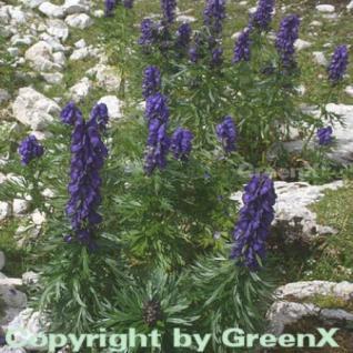 Eisenhut blau - Aconitum napellus - Vorschau