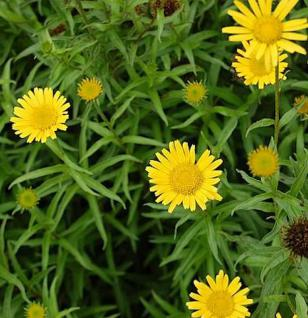 Ochsenauge Alpengold - Buphthalmum salicifolium - Vorschau
