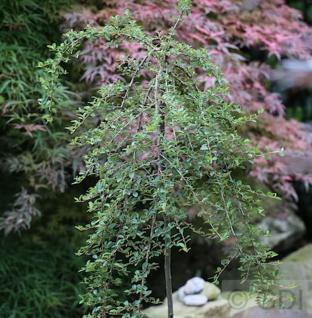 Hochstamm Zwergmispel Radicans 60-80cm - Cotoneaster dammeri - Vorschau