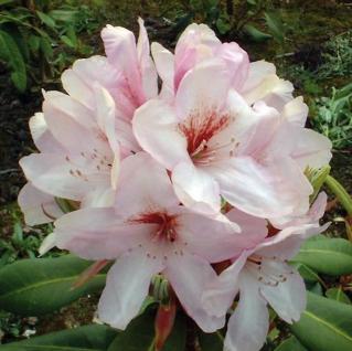 Großblumige Rhododendron Paola 40-50cm - Alpenrose - Vorschau