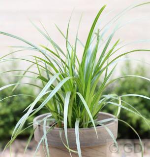 Teppich Japan Segge Irish Green - Carex foliosissima - Vorschau